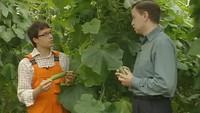 Свежая зелень 1 сезон Лучшие сорта огурцов